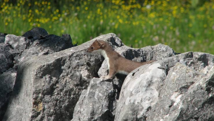 Die Errichtung von Ast- und Steinhaufen ist notwendig für die Förderung der Wiesel: Sie dienen den Tieren als Unterschlupf und Aufzuchtstätte.