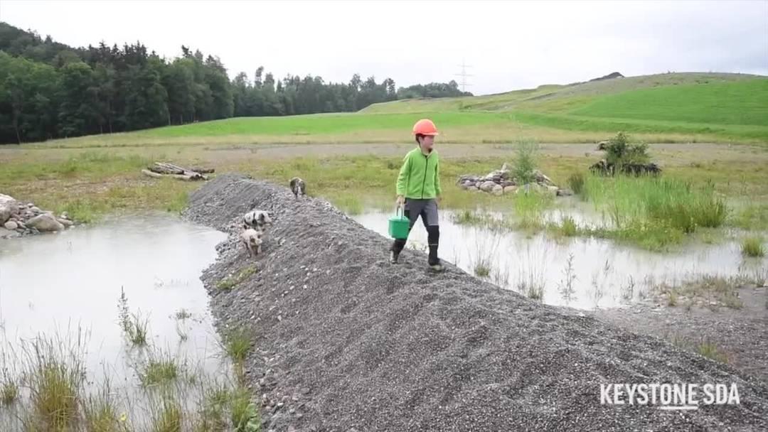 Turopolje-Schweine als Landschaftspfleger