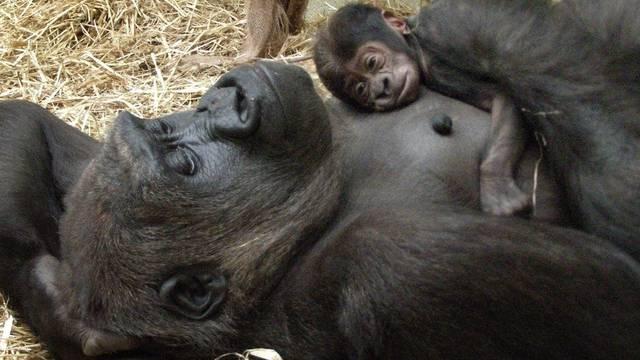 Gorilla sorgt sich um ihr Baby