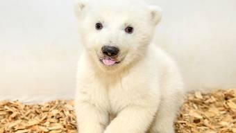 Im Berliner Zoo ist vor elf Wochen dieser Eisbär zur Welt gekommen. Zwei Tierärzte und eine Pflegerin sind am Freitag erstmals ins Gehege der Eisbären gegangen, um tierärztliche Untersuchungen durchzuführen und das Geschlecht zu bestimmen. Das noch namenlose Tier ist ein Mädchen.