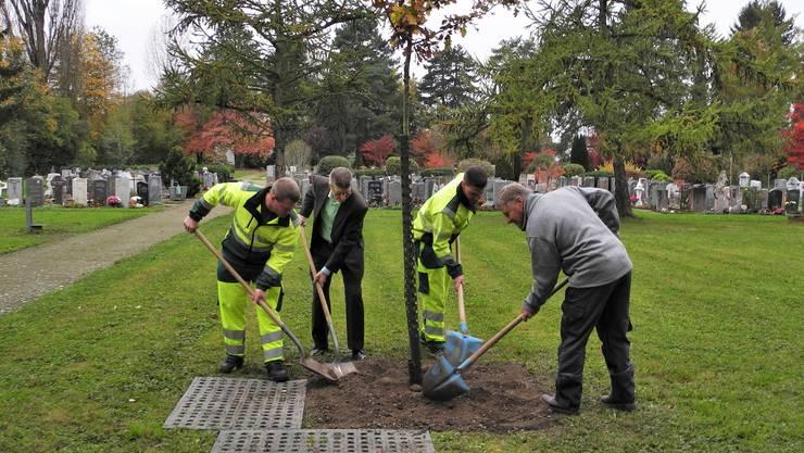 Stadtrat Andreas Kriesi und Kaspar Reutimann helfen mit, die Traubeneiche einzugraben.