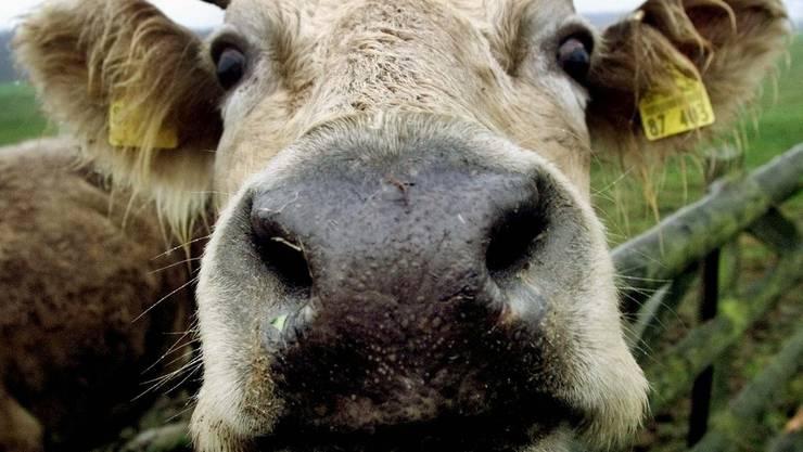 29 Rinder sind ausgebüxt- Passiert ist zum Glück nichts. (Symbolbild)