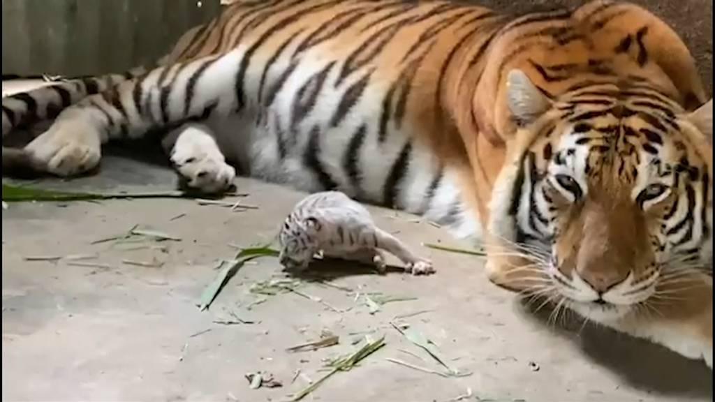 Bengaltiger bringt weisses Tigerbaby auf die Welt