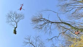 Helikopter transportierte Bäume über dem Schartenfels