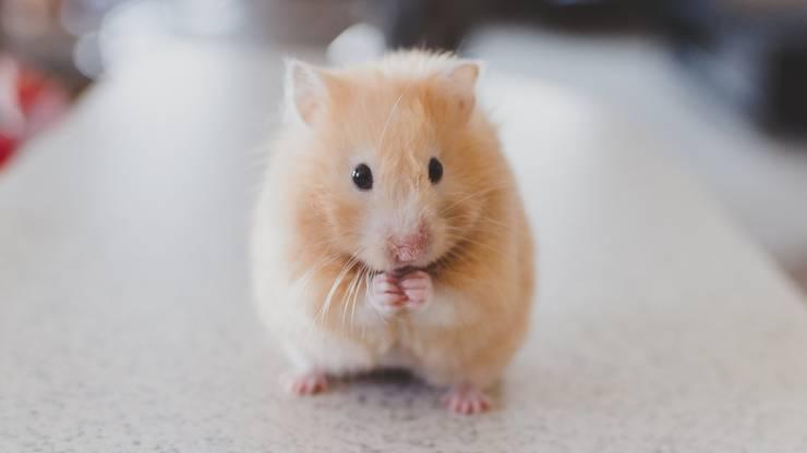 Oder wie wäre es mit einem Hamster? Ein Hamster braucht viel Freilauf sowie Kletter- und Spielmöglichkeiten. Leider ist die süsse Maus aber nicht so zum Schmusen geeignet.