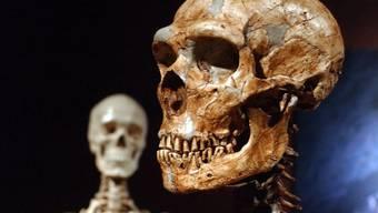 Die originalgetreue Nachbildung eines Neandertaler-Skeletts, rechts, und das Knochengeruest eines modernen Menschen.