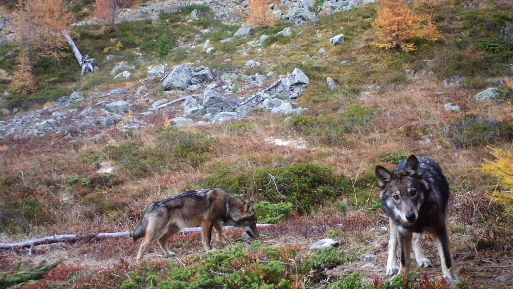 Es gibt immer weniger Risse pro Wolf in der Schweiz