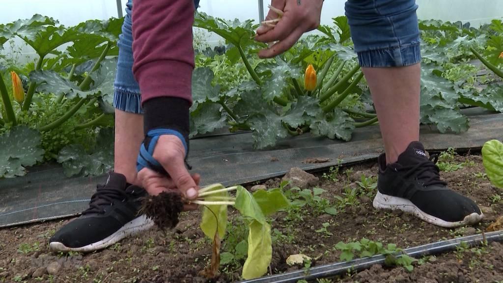 Riesige Ernteausfälle für Berner Bauern