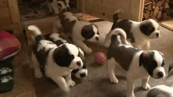 Gontenschwiler Bernhardiner-Hunde können laufen