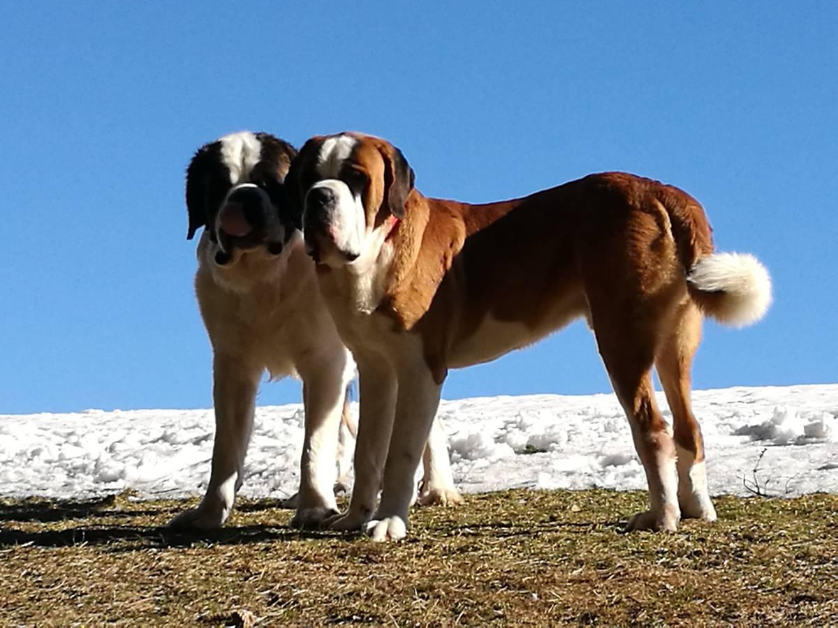 Deswegen prüft das Veterinäramt nun, ob die Hunde aggressiv sind. Sollte dies der Fall sein, werden sie eingeschläfert. (© Zur Verfügung gestellt)