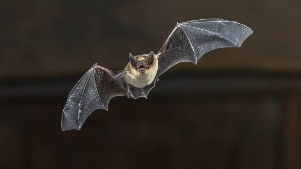 Die Fledermaus konnte von einem Passagier eingefangen werden. (Symbolbild)