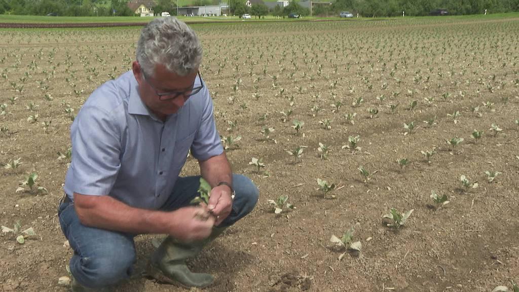 Ernteausfälle: TG-Gemüsebauern kämpfen gegen Langzeitfolgen