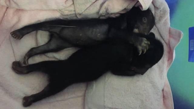 Tierschützer retten Bären-Babys aus illegaler Farm