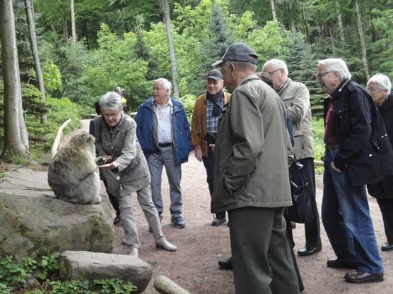 Berberaffen füttern auf dem Affenberg