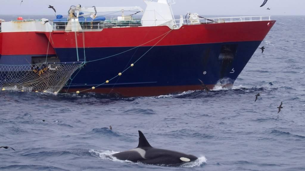 Orca-Angriffe auf Segelboote Versicherungsfall