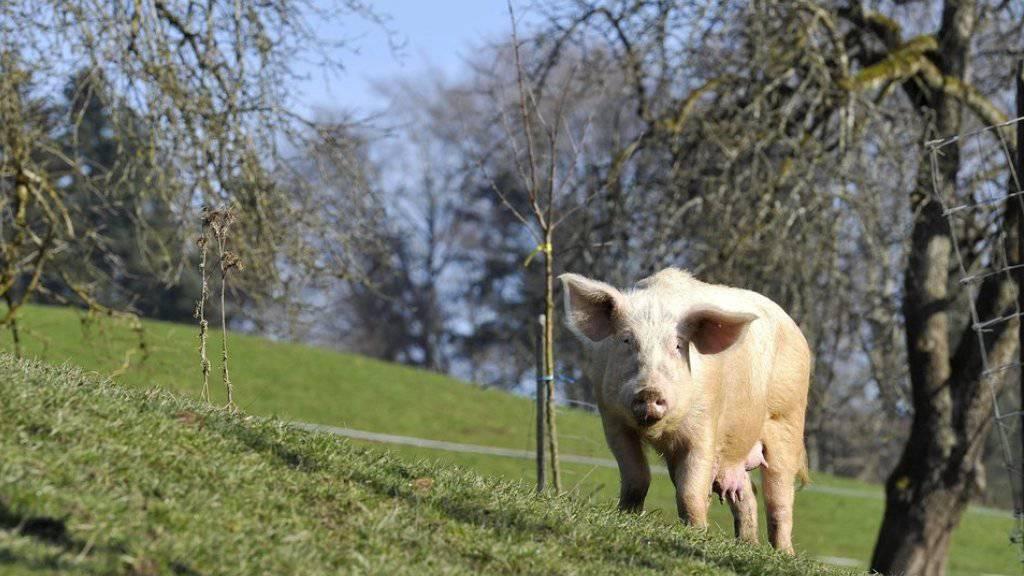 Ein Zuchtschwein geniesst in Meggen LU die Sonne und die frische Luft. Seine Nachkommen sollten beste Bio-Fleischqualität liefern. (Archiv)