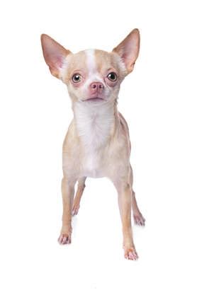Je kleiner, umso süsser? Für die Hunde kann dieser Trend lebensgefährlich werden. Ihre Knochen brechen schneller und ihre Schädeldecken wachsen bei extremem Zwergwuchs gar nie richtig zu.