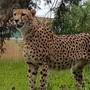 Die Geparden in Knies Kinderzoo haben Zuwachs durch diese beiden Tiere aus einer Zuchtstätte in Südafrika erhalten.