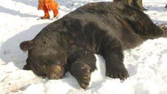 Ein angeschossener Schwarzbär stürzte in Alaska von einem Felsen auf den Jäger. (Symbolbild)