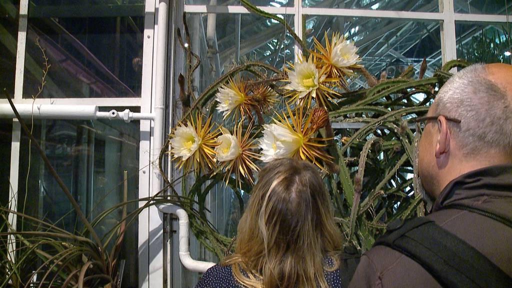 Königin der Nacht: Seltenes Blütenspektakel in Zürich