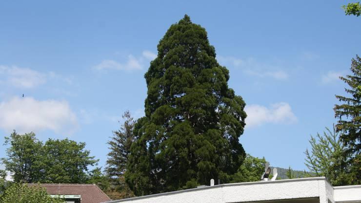 Der Mammutbaum neben dem Museum Blumenstein ist nicht mehr geschützt.