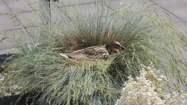 Eine waschechte Dietikerin: Das ist die Limeco-Entenmutter. Sie hat ein schönes Nest gebaut, wie Sie auf dem nächsten Bild sehen.