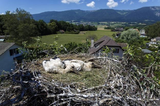 Zwei junge Ströche in einem Nest im Storchendorf Altreu. (Archivbild)