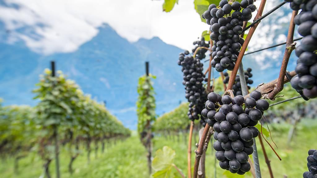 Wein von 2020 in kleinen Mengen aber «exquisiter» Qualität