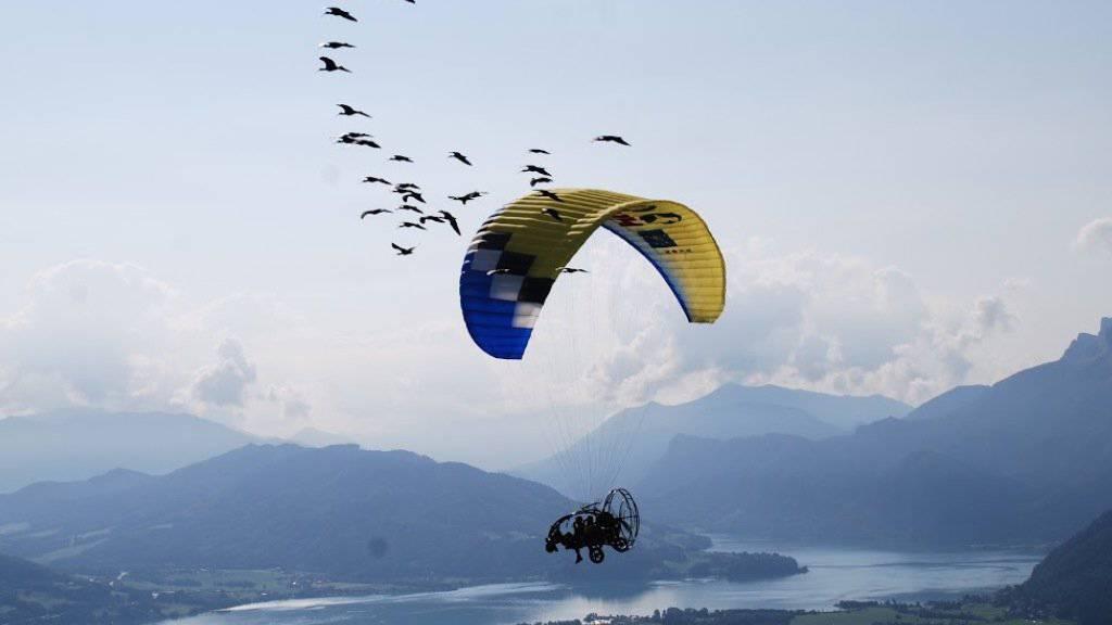 Hannibal folgte gemeinsam mit ihren Artgenossen ihren Zieheltern in einem Ultraleichtfluggerät über die Alpen nach Italien. Kurz vor dem Ziel verlor sie aber den Anschluss.