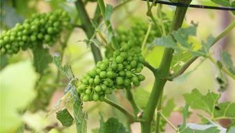 Auf dem Rebberg von Rahel Buchmann in Wittnau sind die Trauben derzeit noch grün. In rund vier Wochen beginnt der Farbumschwung. Dennis Kalt