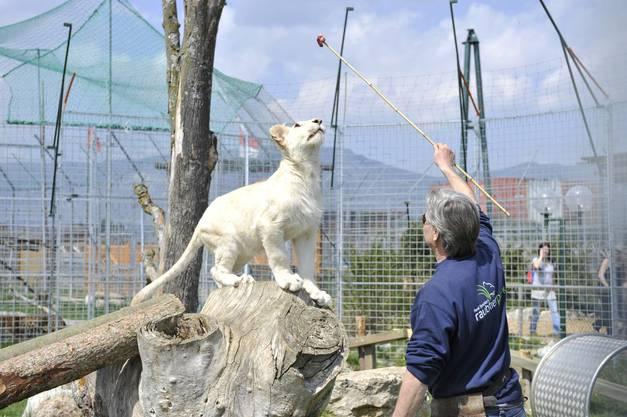 Der weisse Löwe ist ein Geschenk vom Zoo in Belgrad