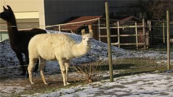 Lamas tun sich an einer trockenen Tanne gütlich.