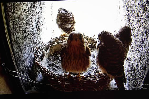 Es scheint, als ob dieser junge Falke die Kamera entdeckt hat