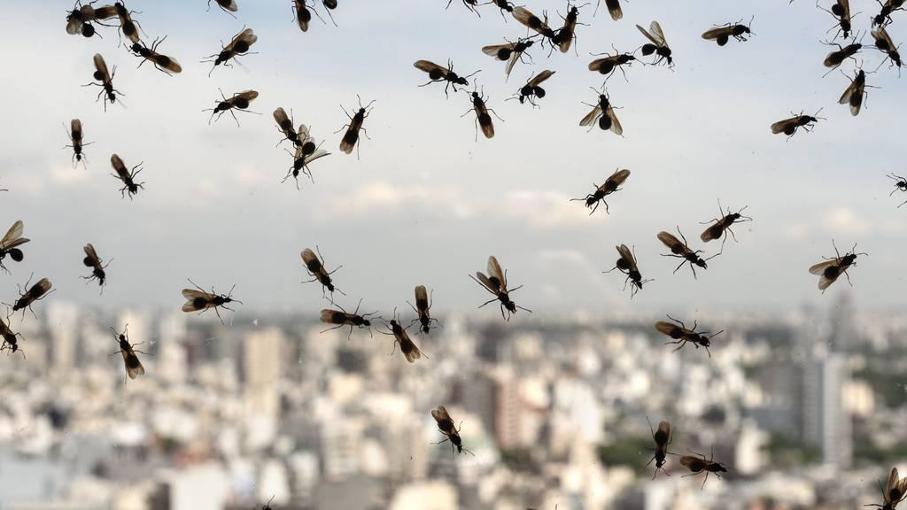 Einmal im Jahr tauschen die Schmeissfliegen den Fensterplatz mit den Ameisen