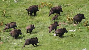 Wildschweine sind sehr fruchtbar, ihre Bestände können sich in kurzer Zeit massiv vergrössern.