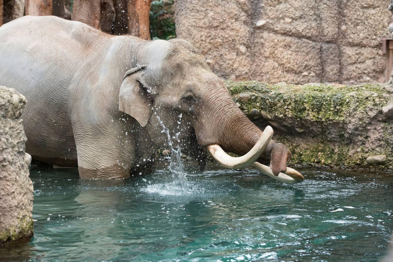 Im Indoor-Pool seines neuen Zuhauses bleibt Maxi allerdings lieber im seichten Bereich des Wassers. (© Zoo Zürich/Jean-Luc Grossmann)
