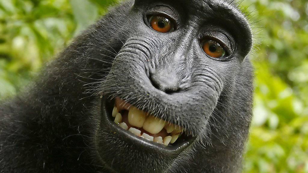 Affen-Selfie: Ein Makake drückte auf der indonesischen Insel Sulawesi 2011 auf den Auslöser der Kamera eines Naturfotografen. (Archivbild)