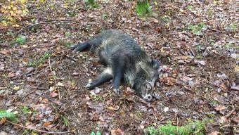 2019 wurden im Kanton Solothurn über 750 Wildschweine erlegt. Fast so viele wie im Rekordjahr 2017.