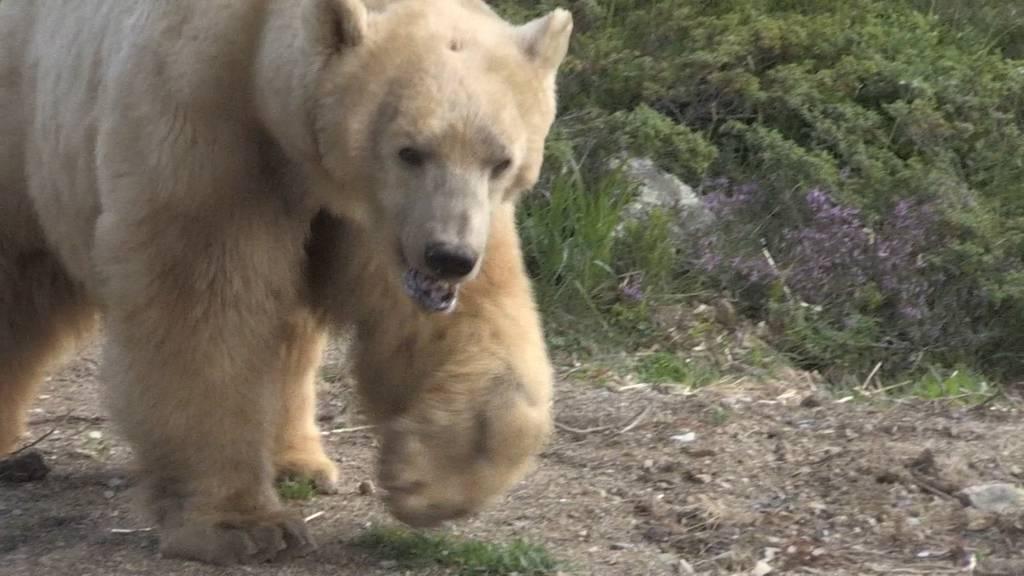 Aroser Bär Napa von seinem Leid erlöst