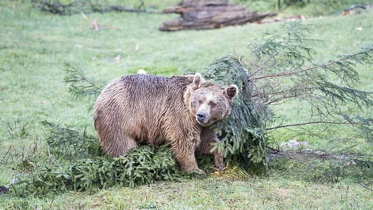 Im Nordosten Spaniens treibt derzeit ein besonders angriffslustiger Bär sein Unwesen: Das Tier namens Goiat soll mehrere Pferde und Schafe in den Pyrenäen getötet haben. (Themenbild)