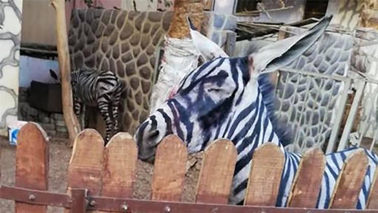 Mutmasslich ein frisch lackierter Esel: Eines der «Zebras» im neuen Zoo in Kairo. HO