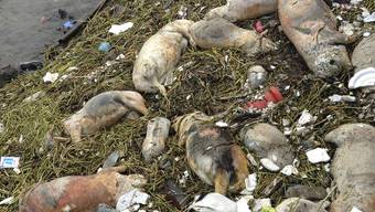 Rätzel um 1200 tote Schweine. Bevölkerung ist in Sorge