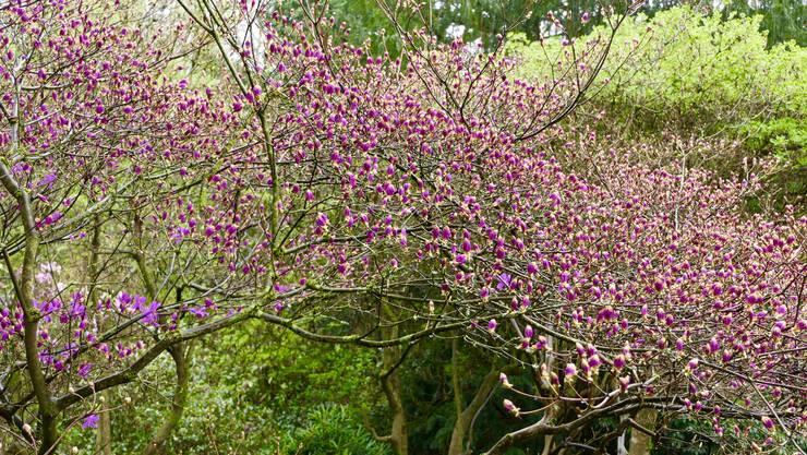 Rhododendron-Zeit im Merian Garten.