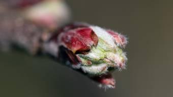 Die Knospen wachsen, die Natur erblüht.