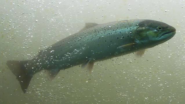 Wasserkraftwerkbetreiber sind dazu verpflichtet, bis 2030 ihre Anlagen zu sanieren – und so den Weg für die Fische freizumachen, mit Fischtreppen etwa.  (Symbolbild)