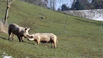 Die Seuchengefahr für Schweizer Schweine ist gebannt: Das PRRS-Virus ist besiegt