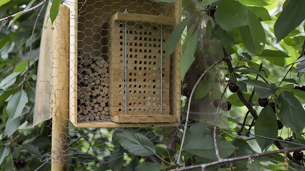 45 Prozent der Bienenarten in der Schweiz sind gefährdet. Solche Häuschen bieten den Wildbienen Nistplätze und tragen damit zur Arterhaltung bei. (Archivbild)