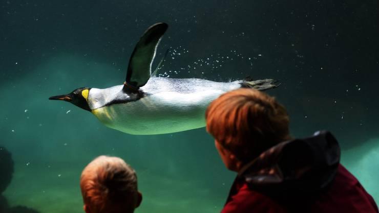 Königspinguine locken immer eine Menge Besucher an