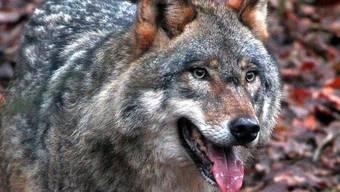 Wolf verliert Kampf gegen russische Grossmutter (Symbolbild)