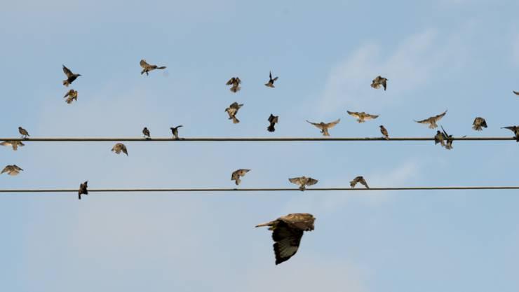 Zugvögel machen sich auf Richtung Süden. (Archivbild)